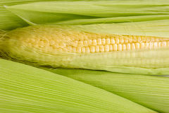 Closeup fresh corn cobs. Royalty Free Stock Photo
