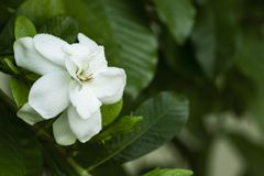 Closeup of fresh Gardenia flowers with dew drops in tropical garden. copy space. White Jasmine flower with water drops