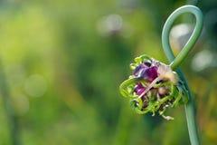 Closeup of fresh garlic Royalty Free Stock Photos