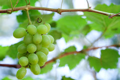 Closeup of fresh grape Royalty Free Stock Photography