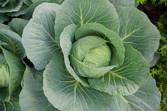 closeup fresh green cabbage garden Royalty Free Stock Images
