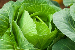 Closeup fresh green cabbage in the vegetable garden. Stock Photo