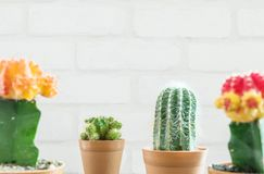 Closeup fresh green cactus in brown plastic pot for decorate with blurred group of color cactus and white brick wall textured back. Ground Stock Photo