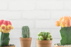 Closeup fresh green cactus in brown plastic pot for decorate with blurred group of color cactus and white brick wall textured back. Closeup green cactus in brown Stock Photo