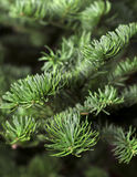 Closeup of a fresh green fir branches Royalty Free Stock Photography