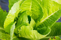 Closeup of fresh green  lettuce Royalty Free Stock Images