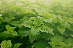 Closeup of fresh green mint leaves. Abstract background. Soft fo Royalty Free Stock Photos
