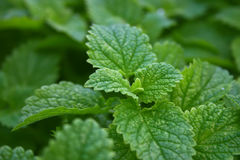 Closeup of fresh green mint leaves. Abstract background. Soft fo Royalty Free Stock Photography