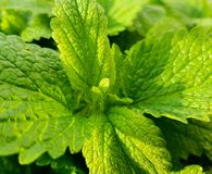 Closeup of fresh green mint leaves. Mint plant. royalty free stock photos