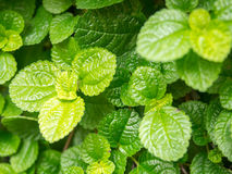 Closeup fresh green mint leaves in vegatable garden Royalty Free Stock Photography