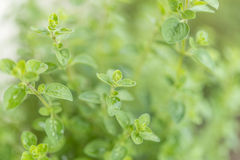 Closeup of fresh green Oregano Royalty Free Stock Photos