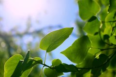 Closeup of Fresh Green Tree Leaves Under the Sunlight. Photo taken of fresh green tree leaves and branches under the sunlight. Made in nature royalty free stock photos