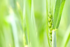 Closeup of a fresh green wheat Stock Photography