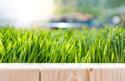 Closeup of fresh growing green grass at bright sunny day Royalty Free Stock Image
