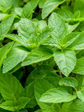 Closeup fresh growing peppermint leaves . Royalty Free Stock Images