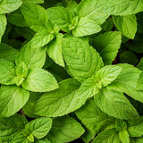 Closeup fresh growing peppermint leaves . Royalty Free Stock Photos