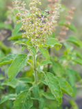 Closeup fresh herb called Thai Holy Basil (Ocimum  Stock Photos