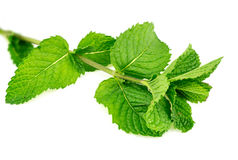 Closeup of fresh home-grown mint leaves isolated Stock Photography