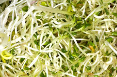 Fresh juicy sprouts Stock Images