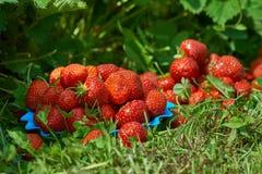 Juicy strawberries in the garden Stock Photo