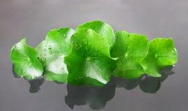 Closeup fresh leaf of Gotu kola, Asiatic pennywort, Indian penny Stock Photography