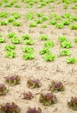 Closeup of fresh lettuce Royalty Free Stock Photo