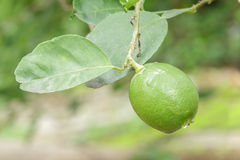 Closeup fresh lime on tree. Royalty Free Stock Image
