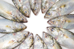 Closeup fresh mackerel fish Stock Photo