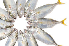 Closeup fresh mackerel fish on white background Stock Photos