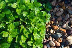 Closeup of fresh mint stock images