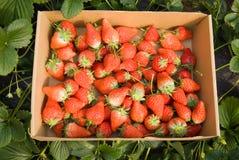 Closeup of fresh organic strawberries Stock Photography