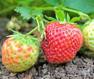 Closeup of fresh organic strawberries growing on the garden Stock Photography