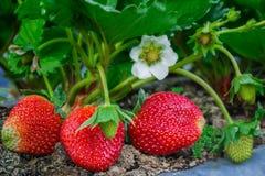 Closeup of fresh organic strawberries Stock Image