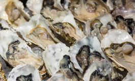 Closeup fresh oysters on buffet line Royalty Free Stock Photo