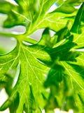 Closeup of fresh parsley Royalty Free Stock Photography
