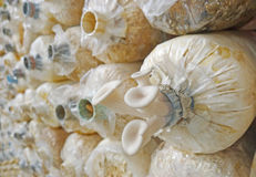 Closeup fresh Phoenix mushroom ( Indian Oyster ) Royalty Free Stock Photography