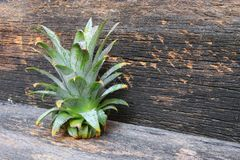 Closeup fresh pineapple leaves on wood table background Royalty Free Stock Image