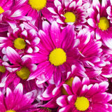 Closeup fresh pink daisies. Closeup of fresh pink daisies Royalty Free Stock Photos