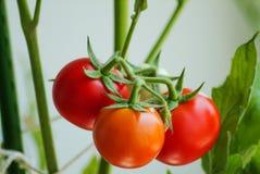 Closeup of fresh raw organic cherry tomatoes on the vine. Closeup of fresh raw organic cherry tomatoes growing on the vine Stock Image