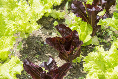 Closeup of fresh red and green lettuces Stock Photos