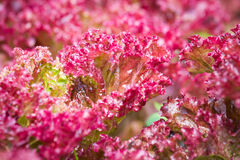 Closeup of fresh red lettuce Stock Photography