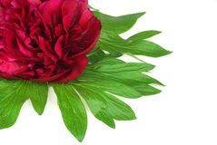 Closeup of a fresh red peony flower. On white. Decorative corner composition royalty free stock image
