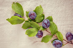 Closeup Fresh Ripe Blue Berries on Branch Royalty Free Stock Images