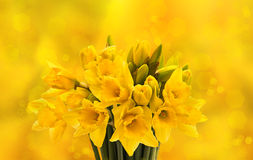 Closeup of fresh spring narcissus flowers stock image
