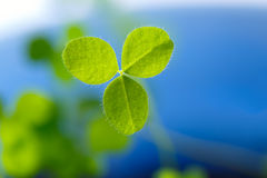 Closeup of fresh sprouts of grass clover. The symbol of the holi Royalty Free Stock Photos