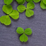 Closeup of fresh sprouts of grass clover. Symbol of the holiday Stock Photos