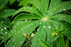 Closeup of fresh vivid green lupine leaves with large water drops Royalty Free Stock Images