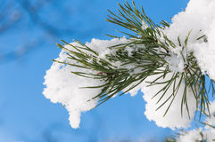Closeup of freshly fallen snow on a pine tree Royalty Free Stock Images