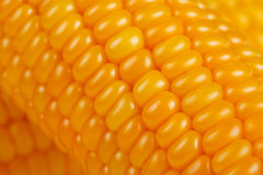 Closeup of freshly harvested corn Royalty Free Stock Image