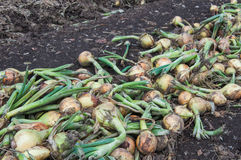 Closeup of freshly harvested onions drying. Crude mechanically harvested onions drying in rows Royalty Free Stock Photo